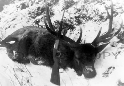 Antique 8X10 Hunting Repro Photo Bull Elk With Savage Model 99 Rifle