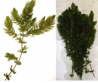 Hornwort + Elodea Densa Oxygenating Pond or Fish Tank Weed [5 Strands of Each]