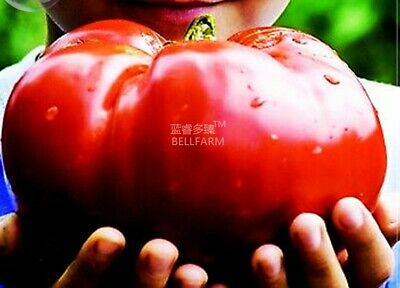 100 seeds Heirloom Giant Monster Tomato, DIY Vegetable Seeds TS177