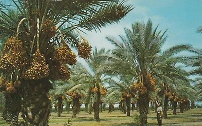 """*Dates Postcard-""""Date Groves"""" (Giant Clusters in Ripening State)"""