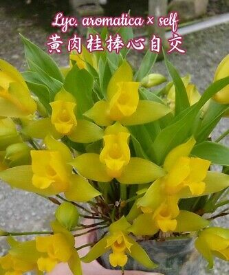 orchid / orchidee Lycaste aromatica    a10