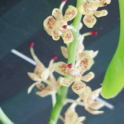 orchid / orchidee Pteroceras longicalcarum   a16