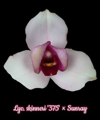 """orchid / orchidee Lycaste skinneri """"375"""" x Sunray   a94"""