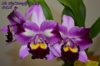 orchid / orchidee RLC Chief Butterfly (a62)
