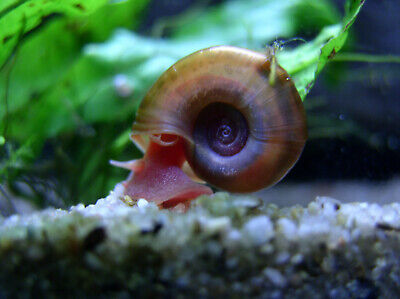 escargot d'aquarium - lots de 5 planorbes -