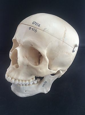 SOMSO Anatomical Artificial Human Skull Bony Movable Jaw Extremely Life-Like VGC