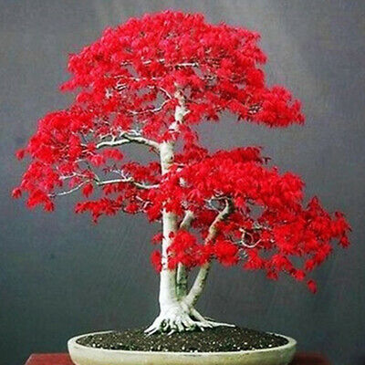 EE_ 1 Pack Red Maple Tree Seeds Acer Palmatum Plant Bonsai Home Garden Yard Deco