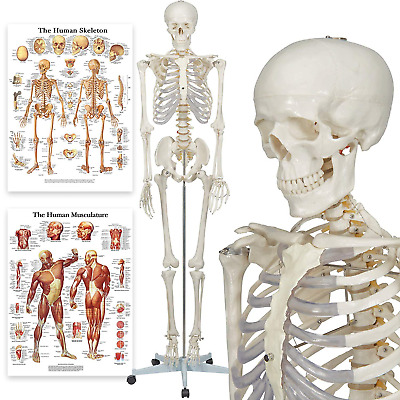 Halloween Fun - Buddy the Budget Skeleton - Human Skeleton Anatomical Model - cm