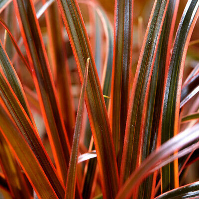 "Uncinia rubra Everflame-Red Hook Grass Plant in 3.5 "" pot"