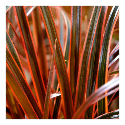 Uncinia rubra Everflame-Red Hook Grass Plant in 9 cm pot