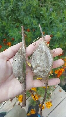 2 x live Cecropia Moth Cocoons! Fridge storage kit included!Home school project