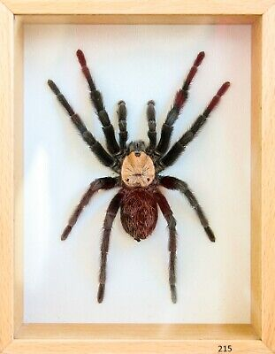 Unique Real Tarantula (Mexican Golden Red Rump M) Taxidermy - Mounted,Framed