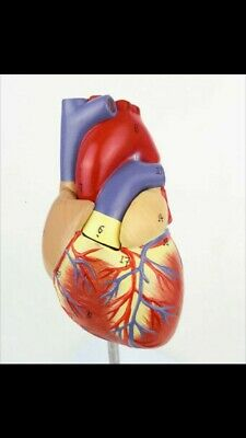 1:1 Human Heart Anatomy Model Medical Circulation System of Internal Model