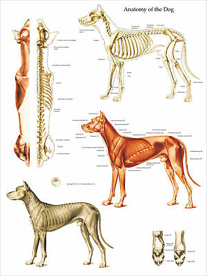 "Dog Muscular and Skeletal Anatomy Veterinary Poster 18"" X 24"" Wall Chart"