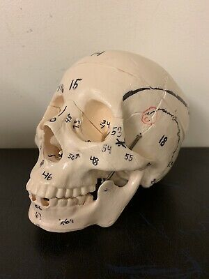 Human Anatomy Learning Skull - Opening top with numbered labels - Unbranded