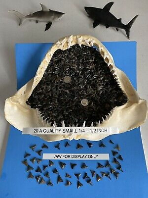 Lot Of 20 (A) Quality Fossilized Jewelry Grade 1/4-1/2 inch Shark Teeth Venice