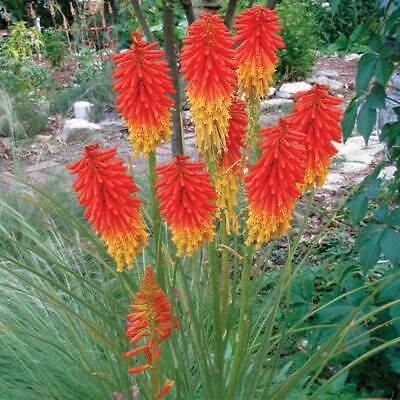 Red Hot Poker Kniphofia Trimota Hybrids Colourful /& Exotic Plant! - 25 seeds