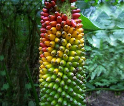 100 Seeds Banana Musa Fruit Trees Exotic Bonsai Plants Edible Gardens Decorative