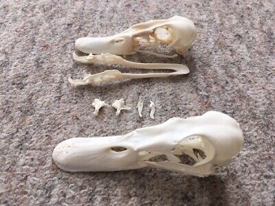 Taxidermy stuffing stuffed skull skeleton voodoo tattoo bones mallards
