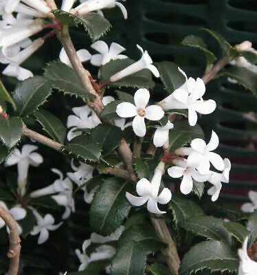 Osmanthus delavayi supplied in 9cm pot