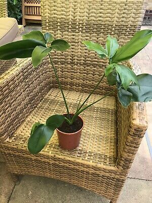 philodendron GREEN WONDER plant with 4 leaves RARE