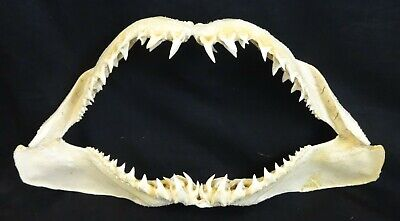 "Awesome 22.5"" Large Mako Shark Dried Jaws with Rows & Rows of Teeth!"