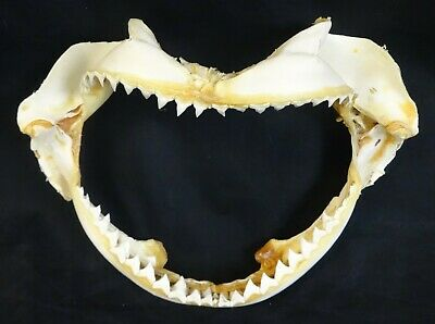 "Vintage 11"" Shark Jaw Complete with Teeth!"
