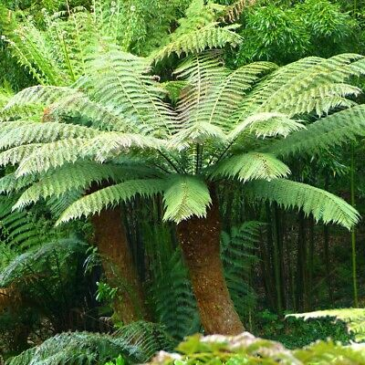 Dicksonia antarctica-Tree Fern Plant in 6 '' pot