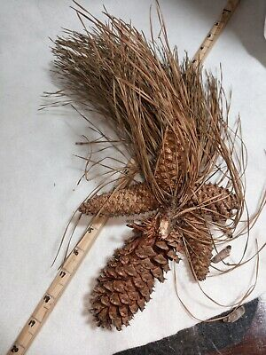 Fresh Holiday Decorative Pine Cone Cluster Natural and Opening