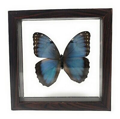 Beautiful Real Blue Butterfly Under Glass & Wood Frame Taxidermy Morpho Didius