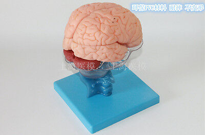 NEW Medical Anatomical Human Brain Model With Arteries Life Size 36