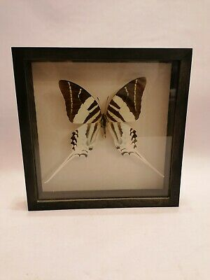 Blue Triangle butterfly Graphium sarpedon SET x1 A Philippines #j01