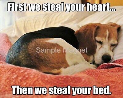 "BEAGLE Steal Your Heart Funny Fridge Magnet 4"" x 3"""