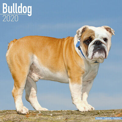 Kalender 2020 Bulldog Englische Bulldogge English Dog Hund Wandkalender