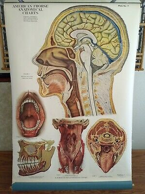 American Frohse Anatomical Head - Neck #FA 7 Copyright Date 1918