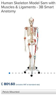 Human Skeleton Model Sam with Muscles & Ligaments - 3B Smart Anatomy