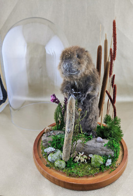 Shfb Antique Victorian Style Taxidermy Baby Beaver Glass Dome Display Decor CUTE