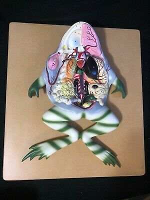 Large Eisco Frog Dissection Model Anatomy Anatomical Model ZM0022A