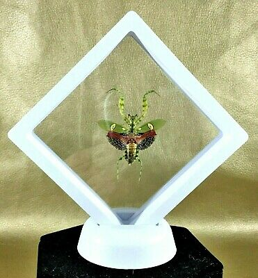 g79a  Taxidermy Entomology Jewel Mantis Framed display collectible specimen
