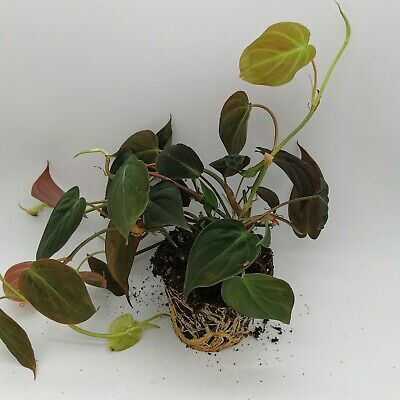 Philodendron micans house plant