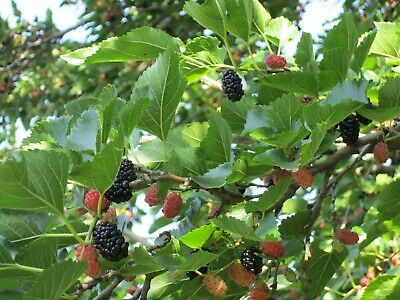 200Pcs Seeds Mulberry Morus Fruit Tree Rare Edible Kinds Bonsai Plants in Garden
