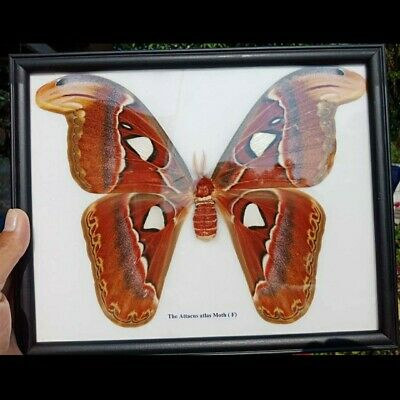 Real Atlas Moth Butterfly Giant Female Display Insect Taxidermy Entomology Frame