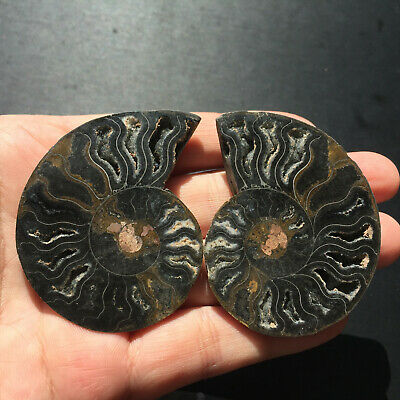 A pair Natural black Ammonite Fossil Conch quartz Crystal Specimen Healing 46g