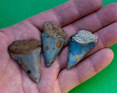 Lot of 3 great white shark fossil teeth from the Megalodon era