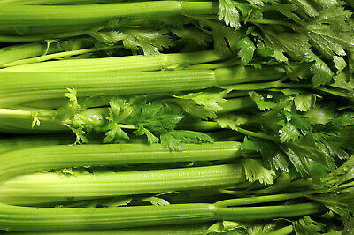 ***CELERY Organic Vegetable Seeds Garden*** SPECIAL FREE
