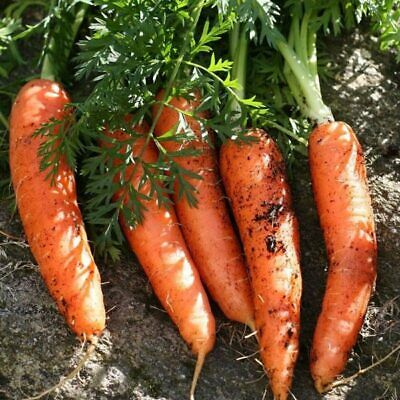 ***CARROT ALL SEASONS Organic Seeds VEGETABLE Garden*** SPECIAL FREE
