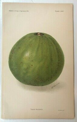 Wall Art RARE Antique Chromolithograph Botanical Print - Trapp Avocado 1905