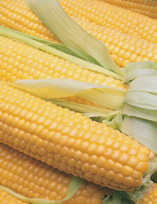 ***SWEET CORN EARLY EXTRA HONEY Organic Vegetable Seeds Bulk Garden*** SPECIAL