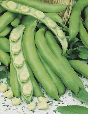 ***BROAD BEAN COLES EARLY DWARF Organic Seeds Bulk Garden*** SPECIAL FREE