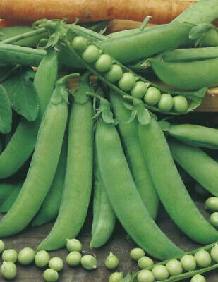 ***PEA EARLY CROP MASSEY Organic Seeds Bulk Garden*** SPECIAL FREE